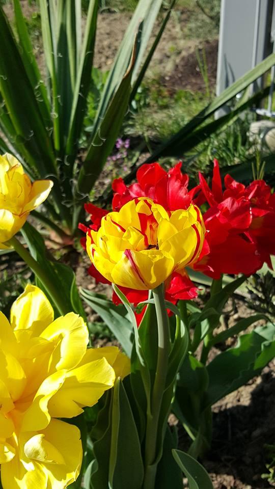 tulpen02